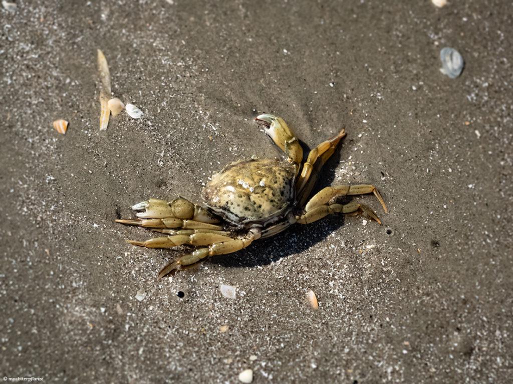 Sand, Strand, Krabbe, Muscheln